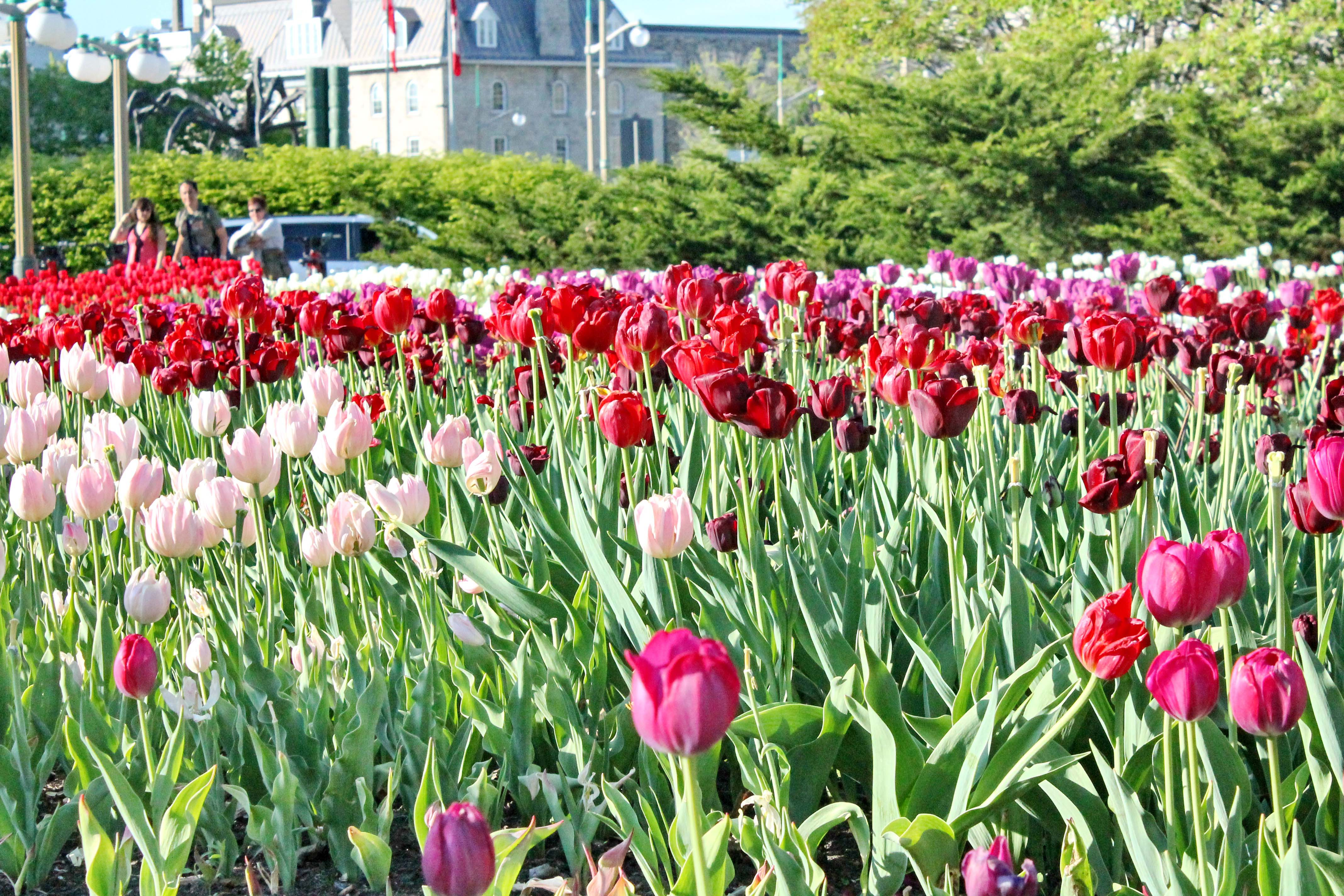 May18 2013 img 0006 for What season are tulips
